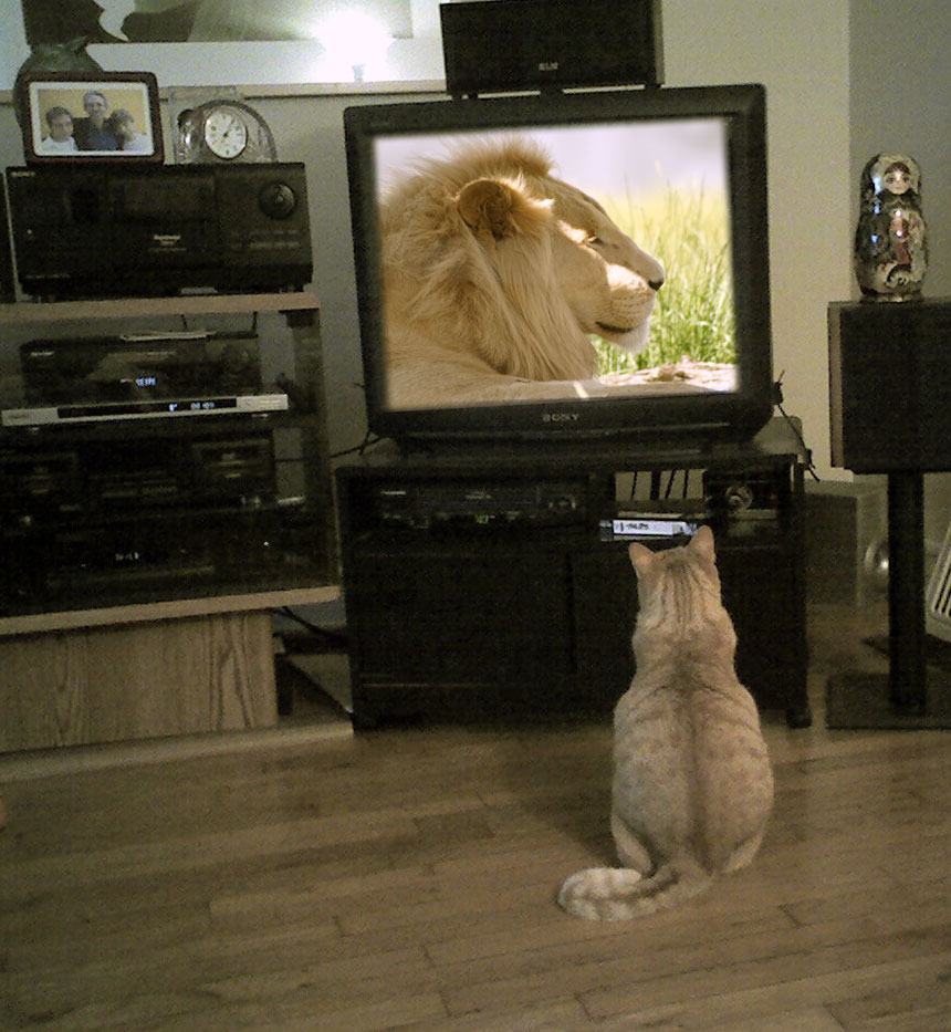 Older picture of Tiger watching a lion on tv